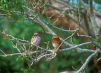 56399050  a pair of wild ferruginous pygmy owls glacidium brasillianum stares down from perches in high trees in tamaulipas state in mexico