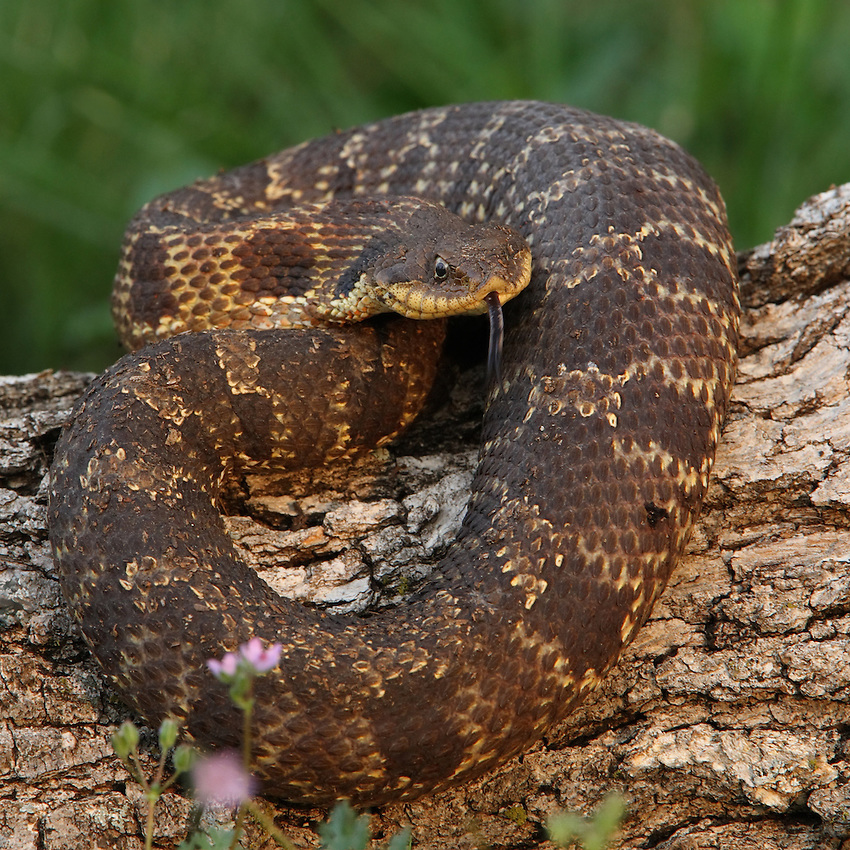 Eastern Hognose Snake, AKA Puff Adder, Hissing Adder, Spreading Adder, Blow Viper, Hissing Sand Snake. NON-VENOMOUS.