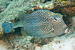 Acanthostracion polygonius, Honeycomb cowfish, Bonaire