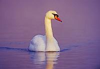 Mute Swan, Cygnus olor,male, Unterlunkhofen, Switzerland, Europe