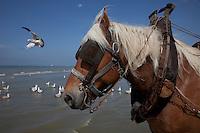 il cavallo in mare durante la pesca dei gamberetti, un gabbiano vola sullo sfondo