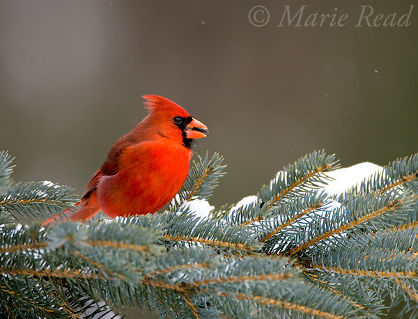 Northern Cardinal (Cardinalis cardinalis) male perched in conifer eating a sunflower seed, New York, USA