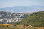 Grazing horses at the top of Manti Canyon near the crest of the Wasatch Plateau, Utah