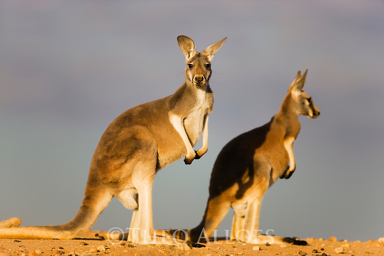 Australia,  NSW, Sturt National Park; red kangaroo (Macropus rufus) female with joey; the red kangaroo population increased dramatically after the recent rains in the previous 3 years following 8 years of drought