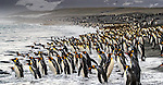 South Georgia Island, Gold Harbour, king penguins (Aptenodytes patagonicus)