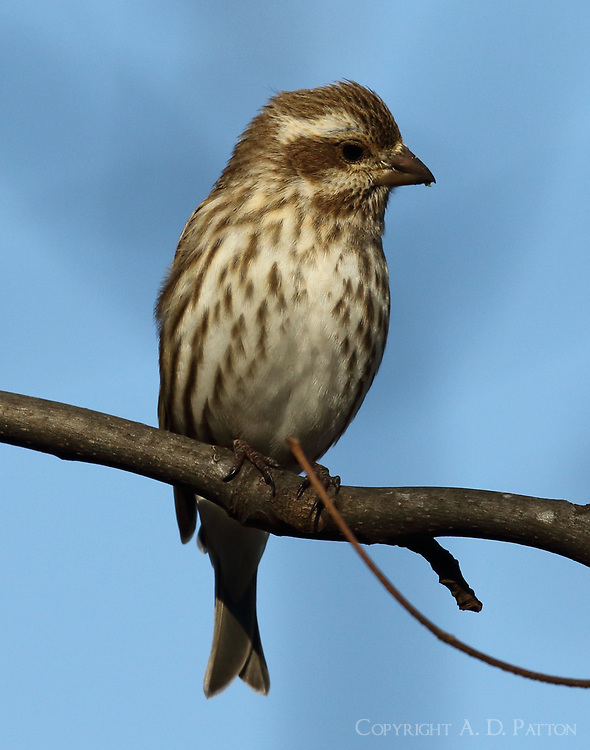 Adult female purple finch