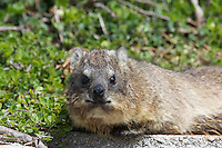 Rock Hyrax at Simonstown, South Africa
