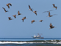 Brown pelicans are often seen along the Pacific coast.