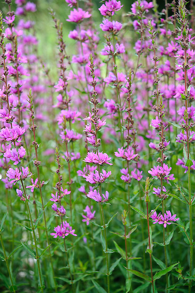 Lythrum 'Dropmore Purple'