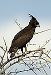 Crowned Eagle, Stephanoaetus coronatus, Lake Awasa, Ethiopia, perched high in tree, Africa