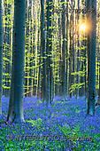 Tom Mackie, LANDSCAPES, LANDSCHAFTEN, PAISAJES, photos,+Belgium, Europe, Hallerbos, Hyacinthoides non-scripta, Tom Mackie, atmosphere, atmospheric, beech, belgian, blue, bluebell, b+luebells, brabant, european beech, fagus sylvatica, flanders, flemish, flemish brabant, flemish region, flower, flowering, fl+owers, forest, green, h non-scripta, halle, landscape, morning, natural, outdoors, outside, peace, peaceful, portrait, scener+y, scenic, season, shadow, spring, springtime, sunburst, tranquil, tranquility, tree, trees,Belgium, Europe, Hallerbos, Hyaci+,GBTM170302-2,#L#, EVERYDAY