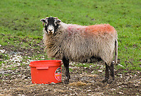 Swaledale ewe eating high energy feed from a bucket, Lee, near Lancaster, Lancashire...Copyright John Eveson 01995 61280.j.r.eveson@btinternet.com