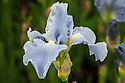 Iris 'Aigue Marine', late May. A single-coloured bearded iris that is very pure sky blue, with very upright stalks and long-lasting flowers from mid to late May onwards. A new iris launched in 2012, by the French Cayeux Iris Nursery,
