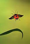 Shield Bug in flight, Family: Pentatomidae, Costa Rica, High Speed Photographic Technique, flying, red, body black wings, tropical jungle.Costa Rica....