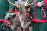 Reindeers in a mall 2014