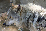 Mexican wolf in water