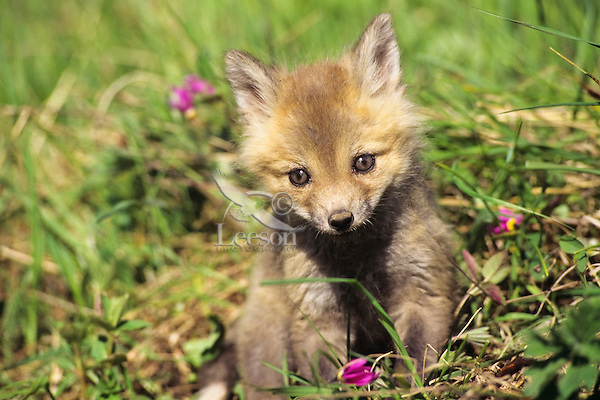 Red Fox (Vulpes vulpes) pup in early spring.  Wildflowers are shooting stars or birdbills.  Western U.S.
