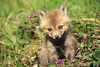 Red Fox (Vulpes vulpes) pup in early spring.  Wildflowers are shooting stars or birdbills.  Western U.S.