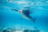 tiger shark, Galeocerdo cuvier, seizes fledgling black-footed albatross, Phoebastria nigripes, that fell into lagoon on its maiden flight, French Frigate Shoals, Papahanaumokuakea Marine National Monument, Northwestern Hawaiian Islands, Hawaii, USA