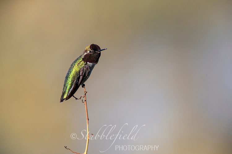 Anna's Hummingbird (Calypte anna), male resting at Riparian Preserve at Water Ranch in Gilbert, Arizona.