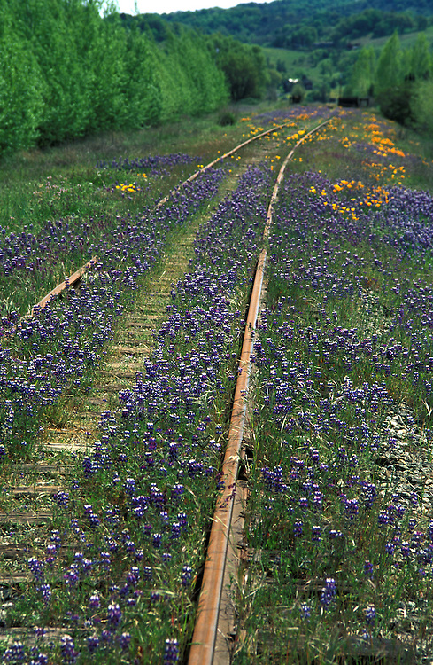 Lupine along train tracks in Northern California