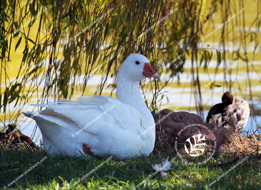 Stock photo - Snow goose sitting peacefully at a lake in Paphos zoo, Cyprus.<br />