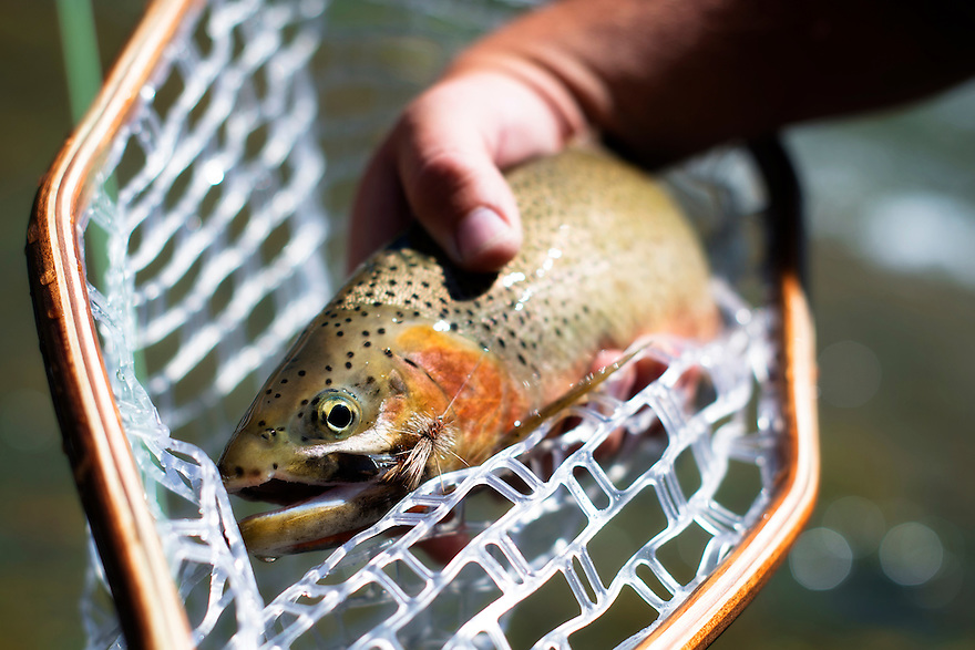 A westslope cutthroat trout comes to hand on the Blackfoot River near Missoula, Montana.