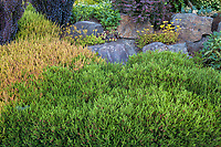 Erica x darleyensis 'Mary Helen', Erica 'Springwodo Pink'<br /> ; Seattle Washington, Stacie Crooks design
