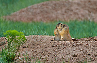 673030107c two wild utah prairie dogs cynomys parvidens interact at their den den in bryce canyon national park utah united states