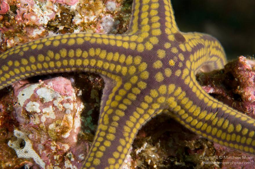 Sea of Cortez, Baja California, Mexico; a yellow and purple Pyramid Sea Star (Pharia Pyramidata) sitting on the colorful rocky reef