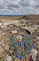 Mountain forget-me not flowers, Utukok Uplands, National Petroleum Reserve Alaska, Arctic, Alaska.