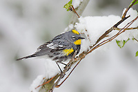 Male Yellow-rumped Warbler or Audubon's Warbler (Dendroica coronata) on snowy day during spring migration, Western U.S., May.