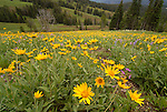 A field of Balsmaroot in Yellowstone National Park