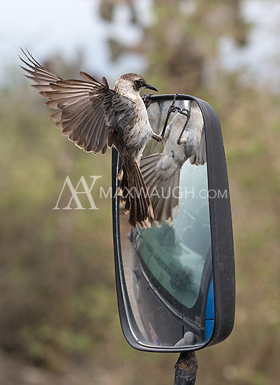 Mockingbirds are commonly seen in the Galapagos.  This one can't get enough of its reflection.