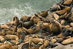 OR, near Florence, Stellar Sea Lions (Eumetopias jubatus)