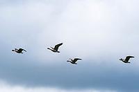 nene, or Hawaiian goose, Branta sandvicensis, endemic species, flying, Princeville, Kauai, Hawaii, USA