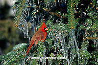 01530-139.05 Northern Cardinal (Cardinalis cardinalis) male in icy fir tree  Marion Co.  IL