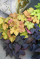 Foliage plants combinations of Ipomoea batatas 'Sweet Heart' aka 'Sweet Caroline Purple' with Heuchera 'Caramel' and Ipomoea 'Sweet Caroline Light Green' at top right, in container pot planter