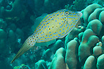 Bonaire, Netherlands Antilles; a Scrawled Filefish swims over the coral reef , Copyright © Matthew Meier, matthewmeierphoto.com All Rights Reserved