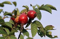 Apfel-Rose, Apfelrose, Rose, Früchte, Hagebutten, Rosa villosa, Rosa pomifera, Apple Rose, Soft Leaved Rose