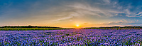 Sunset over Bluebonnets Landscape Pano -  This is a panorama we took of a wonderful field of Texas bluebonnet at Muleshoe park at sunset along the Colorado river outside of Austin TX.  You can see the nice sky with a big orange and yellow sun casting it glow over the landscape with nothing but endless blue bonnets as far as the eye can see. We captured this image last year, the blue bonnets did not come back up in this area this year as there were many areas that did not come back this year, just happy we were able to captured this image.
