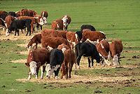 Hereford and Hereford cross beef cattle feeding on straw in a field near Bolton Abbey, Skipton, North Yorkshire.