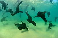 Arctocephalus pusillus, Suedafrikanicher Seebaer, Kolonie unterwasser, South African fur seal, South African fur seal, Arctocephalus pusillus, Colony of Seals underwater, South Africa, Plettenberg Bay, Indian Ocean, Plettenberg Bay, Suedafrika, Indischer Ocean, South Africa, Plettenberg Bay,  Indian Ocean
