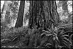 Redwoods and Ferns<br /> Redwood National Park, California