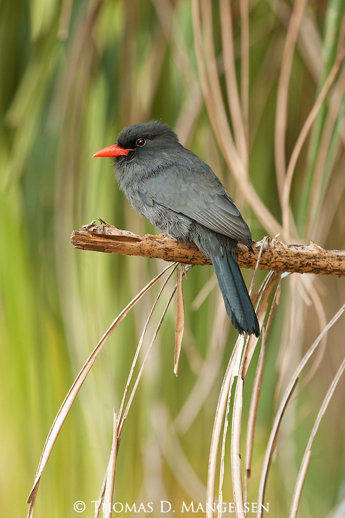 A black-fronted nunbird perches on a branch in the Pantanal, Mato Grosso, Brazil.
