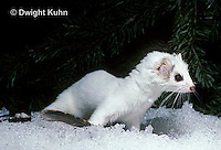 MA28-105z  Short-Tailed Weasel - ermine with winter coat - Mustela erminea