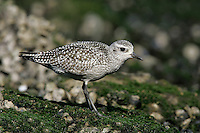 Juvenile<br /> Los Angeles Co., CA<br /> October 2005 Grey Plover - Pluvialis squatarola - Adult moulting into full Summer Plumage. L 28cm. Plump-bodied coastal wader. Best known in winter plumage but breeding plumage sometimes seen in newly-arrived, or shortly-to-depart, migrants. In flight, note black &lsquo;armpits&rsquo; on otherwise white underwings. Typically solitary. Sexes are similar. Adult in winter looks overall grey but upperparts are spangled with black and white and underparts are whitish. Legs and bill are dark. In summer plumage, has striking black underparts (sometimes rather mottled in females) separated from spangled grey upperparts by broad white band. Juvenile resembles winter adult but has buff wash to plumage. Voice Utters diagnostic, trisyllabic pee-oo-ee call, like a human wolf-whistle. Status Nests in high Arctic; coastal, non-breeding visitor to Britain and Ireland