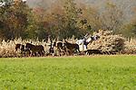 Amish family harvesting corn in autumn.