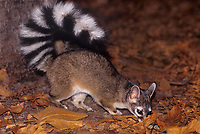 675909015 a wild ringtail bassariscus astutus explores his leaf littered nocturnal surroundings in yosemite national park california united states
