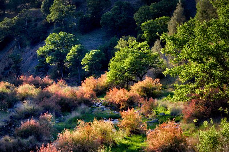 Saltcedar or Five-Stamen Tamarisk (Tamarix chinensis {ramosissima} along banks of Bear Creek with fog. Bear Valley, California